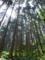 ふもとあたりの杉林