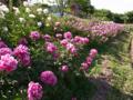咲きそろう芍薬の図