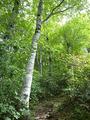 ブナ林を抜ける道