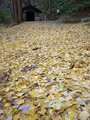 不動堂前のイチョウの絨毯
