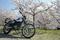 中山町・最上川堤防の桜