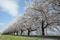 寒河江川堤防の桜並木
