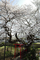 宮宿・伊豆の権現桜
