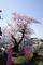 今年も来たぜ子守堂の桜