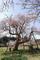 毎年おなじみ十二の桜