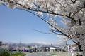 長井の道の駅も桜の名所なんですのよ