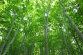 畑コースブナ林の新緑