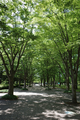 県総合運動公園のイチョウ並木