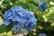文殊堂の紫陽花