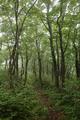 ブナ林をゆく面白山縦走路