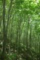 名に違わぬブナの森
