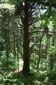 婆杉ともいうらしい大杉
