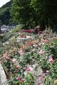 満開のあつみ温泉ばら園