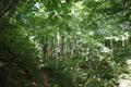 与蔵峠のブナ林