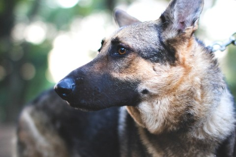 シェパード 飼い犬