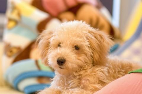 トイプードル 飼い犬
