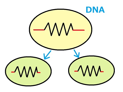 細胞分裂 DNA