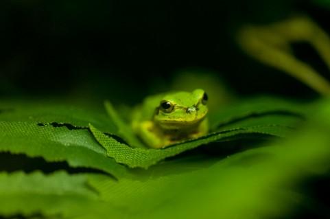蛙 かえる