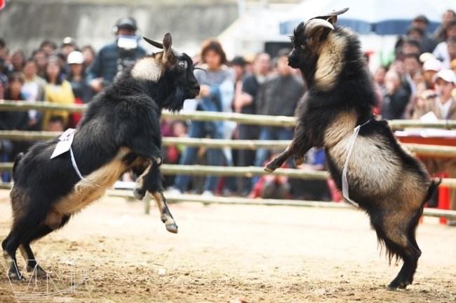 ベトナムハザン省山羊ヤギ