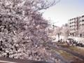 [芦屋][花見][桜]さくら満開!芦屋川。