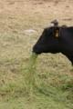 [DA18-55]牛