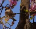 [70-300DG]雀と木蓮