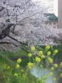 櫻と菜の花