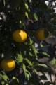 [Q06]果実
