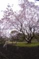 [Q03]枝埀桜