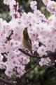 [Q06]梅と目白