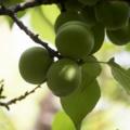 [Q06]梅の実