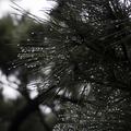 [Q06]松の葉