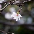 [Q06]十月桜