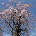 [Q02]桜