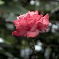 [110_20-40]バラ