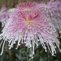 [Q06]菊花