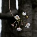 [Q06]秋の桜