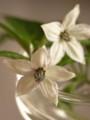 [Nature]トウガラシ花