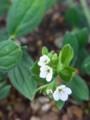 [つれづれ]高崎市染料植物園ムラサキ