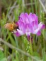 {Nature]ミツバチ