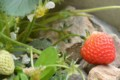 [Nature]イチゴ