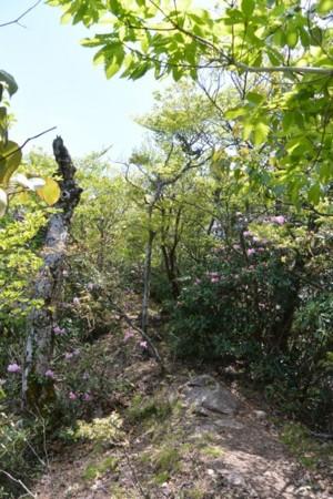 犬ヶ岳シャクナゲの道
