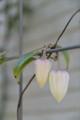 [Nature]冬咲きクレマチス