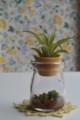 [Nature]苔瓶とエアプランツ