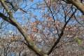 [Nature]山桜