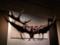 大英自然史博物館展:オオツノジカ頭骨