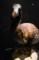 大英自然史博物館展:ドードー模型