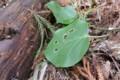 [Nature]アサギマダラ幼虫食痕