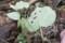 アサギマダラ幼虫食痕
