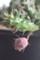 ガガイモ多肉花